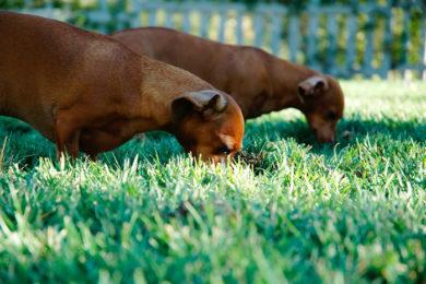 le più comuni erbe tossiche per cane e gatto