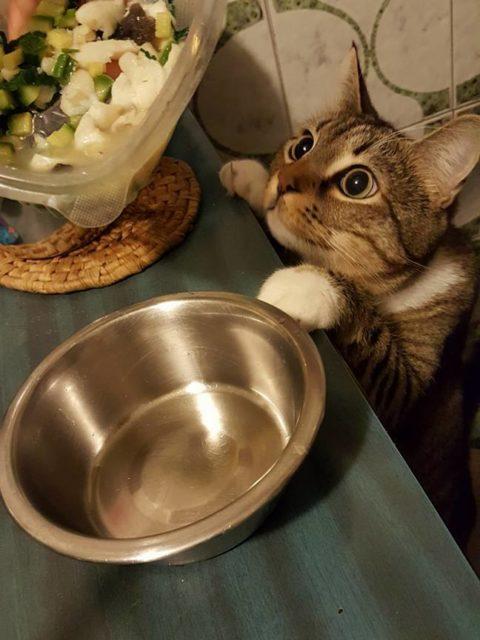 brodetto di pescatrice con zucchine per gatti - Pepe osserva con attenzione i preparativi