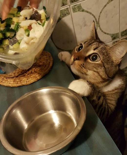 brodetto di pescatrice con zucchine per gatti – Pepe osserva con attenzione i preparativi